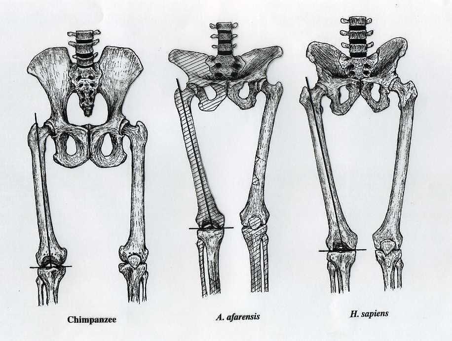 How To Tell If A Fossil Hominid Was Bipedal - Historum - History Forums